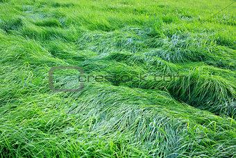 Green grass field background.