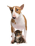 Bull Terrier and a cat, isolated on white