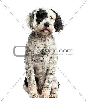Tibetan Terrier sitting, 10 months old, isolated on white