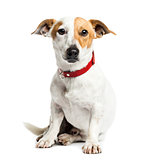 Jack Russell Terrier sitting, 1 year old, isolated on white