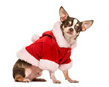 Chihuahua with a christmas jacket, 2 years old, isolated on whit