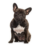 French Bulldog sitting, 18 months old, isolated on white