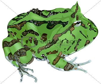 Amazonian Horned Frog