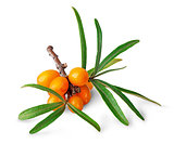 Seabuckthorn berries with leaves