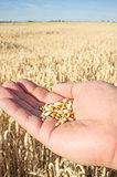 Mature farmer hand holding a handful of wheat grains just picked