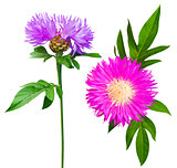 milk thistle flower. milk thistle. Flowering Milk thistle on whi