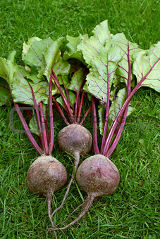 Three red beetroot with purple stalks and green leaves