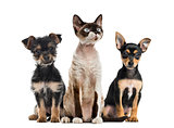 Group of dogs and cat sitting, isolated on white