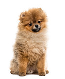 Pomeranian puppy sitting, isolated on white