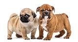 Pug and english bulldog puppies side by side, isolated on white