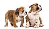 English bulldog puppies cuddling, isolated on white
