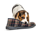 Jack russel puppy playing with a slipper, isolated on white