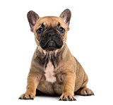 Bulldog puppy sitting looking at the camera, isolated on white