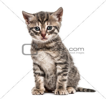 American Polydactyl kitten sitting, isolated on white