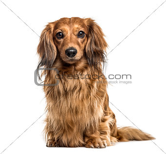 Dachshund sitting, isolated on white
