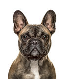 Close-up of a french bulldog looking at the camera , isolated on