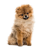 Pomeranian puppy sitting, isolated on white