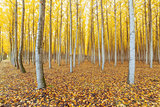 Poplar Tree Farm in Boardman Oregon in Fall