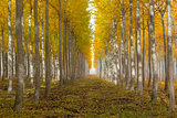 Poplar Tree Farm in Boardman Oregon on Fall Morning