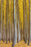 Dense Forest of Poplar Trees in Boardman Oregon during Fall