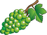 Vector green bunch of grapes - Illustration