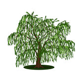 detached tree willow with leaves