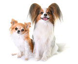 young papillon dog and chihuahua