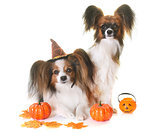 young papillon dogs and halloween