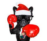 boxing dog  on christmas holidays