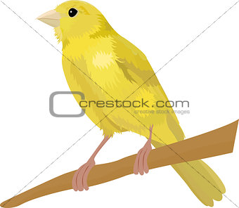 Canary bird vector illustration Isolated on white