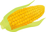 corn vector isolated on white background