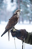 Falcon sits on a hand