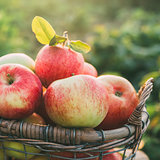 Fresh ripe apples in the basket