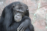 Portrait of a sad chimpanzee