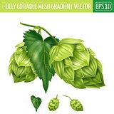 Hops on white background. Vector illustration
