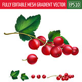 Red currant on white background. Vector illustration