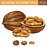 Walnut on white background. Vector illustration