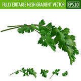 Cilantro on white background. Vector illustration