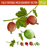 Gooseberries on white background. Vector illustration