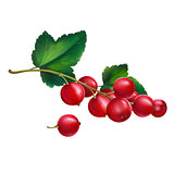 Red currant on white background