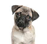 Close-up of a pug, isolated on white