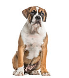 Mixed-breed, English bulldog and boxer, sitting, isolated on whi