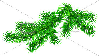 Green fluffy fir pine twig isolated on white