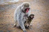 Japanese macaque and baby, Iwatayama monkey park, Kyoto, Japan