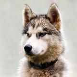 The head of a dog (Husky)