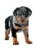 puppy beauceron in studio
