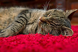 The gray cat sleeps comfortably on a red carpet.