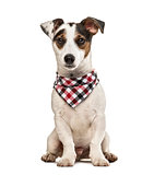Jack Russell Terrier puppy with checked scarf, isolated on white