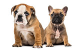 Bulldog puppies sitting, isolated on white