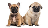 Pug and bulldog puppies side by side, isolated on white